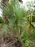 Saw Palmetto - Serenoa repens - 06.01.2014 - 08.55.31