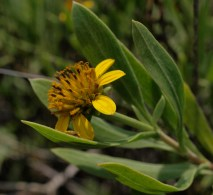 Sea oxeye - Borrichia frutescens - 06.15.2014 - 12.27.53