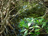 Red Mangrove - Rhizophora mangle - 07.14.2014 - 09.44.05