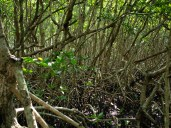 Red Mangrove - Rhizophora mangle - 07.14.2014 - 09.48.11