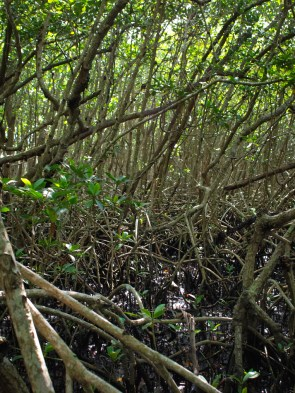 Red Mangrove - Rhizophora mangle - 07.14.2014 - 09.48.16