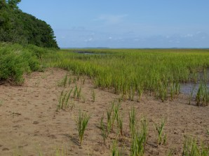 Smooth Cordgrass - Spartina alternaflora - 07.20.2014 - 10.12.58