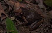 Craugastoridae - Craugastor underwoodi - 07.04.2015 - 19.57.46