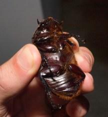Female rhinocerus beetle - scarabidae - 06.28.2015 - 21.16.50