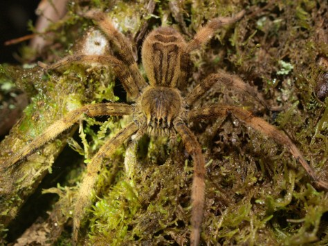 Huntsman spider - Lycosidae - 06.28.2015 - 20.50.25