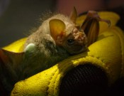 Phyllostomatidae - Centurio senex Wrinkle-faced bat - 07.04.2015 - 19.46.56