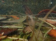 Guppies - Gambusa sp. - 05.20.2016 - 12.37.35