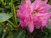 Catawba Rhododendron - Ericaceae - Rhododendron catawbiense - 06.02.2016 - 12.11.23