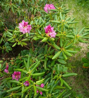 Catawba Rhododendron - Ericaceae - Rhododendron catawbiense - 06.02.2016 - 12.13.07