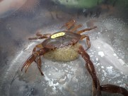 Catching and marking pseudothelphusidae crabs - 07.13.2016 - 08.44.16