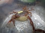 Catching and marking pseudothelphusidae crabs - 07.13.2016 - 08.44.16