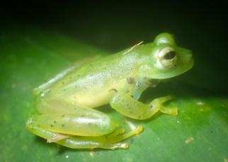 Centrolenidae - Centrolenella prosoblepon - Emerald Glass Frog - 07.10.2016 - 19.12.44