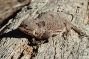 20180513 - Short Horned Lizard - Phrynosoma douglassi 017