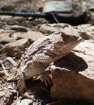 20180514 - Short Horned Lizard - Phrynosoma douglassi 024