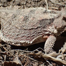 20180514 - Short Horned Lizard - Phrynosoma douglassi 027