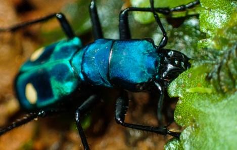 20180606 - Pseudoxycheila tarsalis Tiger Beetle 009
