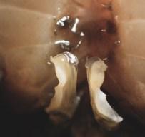 20180623 - Crab identification - Allacanthos pittieri 005