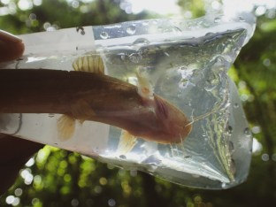 20180626 - Long-whiskered catfish - RHAMDIA ROGERSI 004