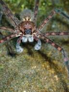 20180627 - Trichnella spider 001