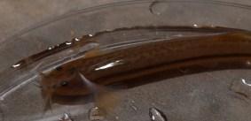 Pencil catfish - Trichomycteridae - Trichomyterus striatus juvenile - 20130710 - 4