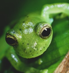 20180603 - Emerald Glass frog - Centrolenidae- Centrolenella prosoblepon 001
