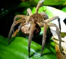 20180603 - Wandering spider - Ctenidae 001