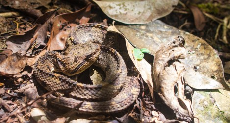 Crotalidae - Jumping pit viper Atropoides nummifer - 08.03.2015 - 09.52.54