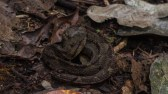 Crotalidae - Jumping pit viper Atropoides nummifer - 08.03.2015 - 09.55.44