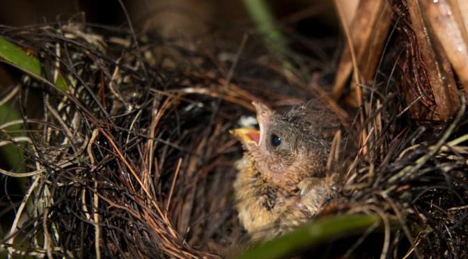 Variable seedeater nestlings