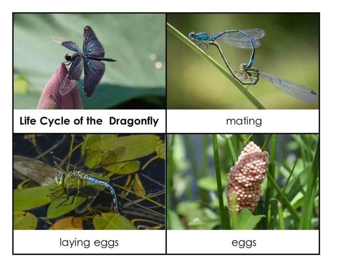Dragonfly Hands On Activities Montessori Nature
