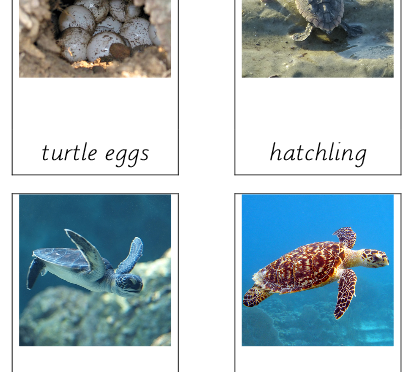 Turtle (Life cycle of)
