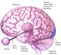 colliculus cerveau oeil