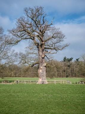 De dikste eik van Nederland, op landgoed Verwolde