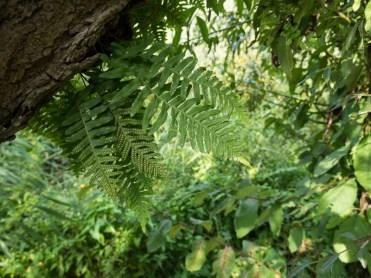 Eikvaren die als epifyt op de stam van een wilg groeit
