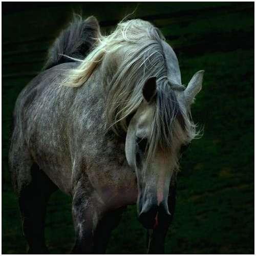 Arabian-horses-16
