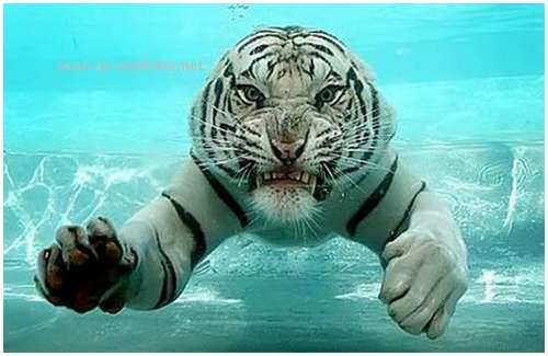 Ferocious-tiger-in-the-water-10