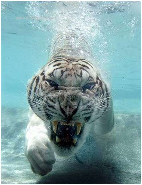 Ferocious-tiger-in-the-water-6