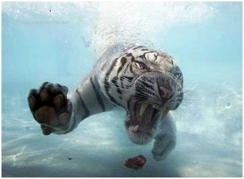 Ferocious-tiger-in-the-water-8