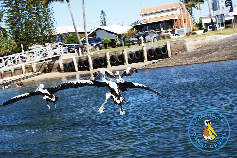 Mooloolaba Canal Cruise - Feeding Wild Pelicans
