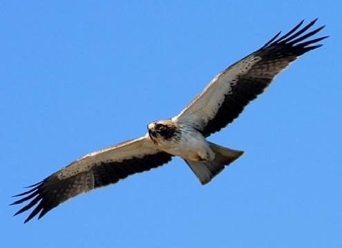 El Águila Calzada. Gavilanero.