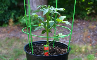 Transplanting Starter Tomatoes For Container Growing