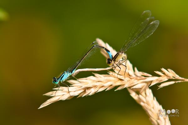 Woordloze Woensdag Libel Juffer Insect