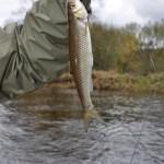 Creek Chub on Stonefly