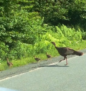 Wild Turkeys were everywhere.