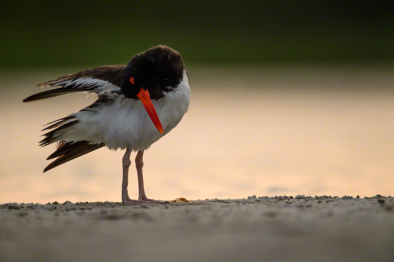 Am Oystercatcher 0795