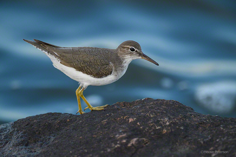 Spotted Sandpiper captured by D5 / 800mm w/TC-1.25e