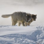 Yellowstone Wolf & Big Game Photographic Workshop