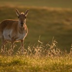 "The ""Other"" Pronghorn"