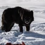 Yellowstone Wolf Photo Workshop