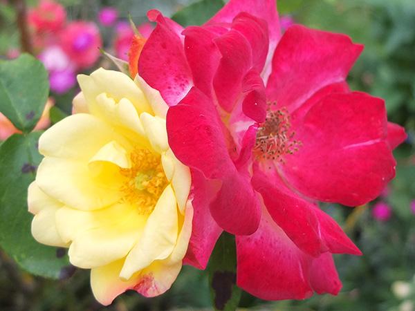 Climbing Masquerade Rose
